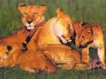 Picture of a lioness and cub